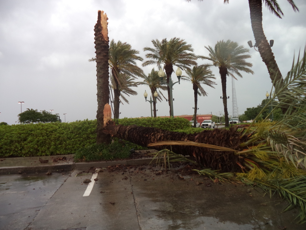 The  storm that pass thru Baton Rouge split a palm tree in half.